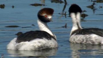 Twilight of the Hooded Grebe (TRAILER)