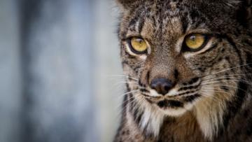 Saliega's Lineage, the Return of the Iberian Lynx (TRAILER)